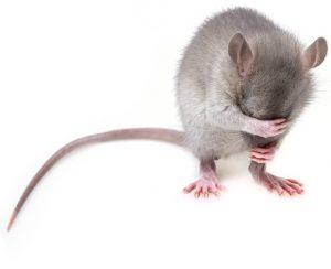 Photo d'une souris qui semble pleurer